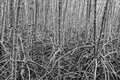 Root for mangrove forest is plentiful background at rayong mangrove forest thailand abstract black and white Stock Photo