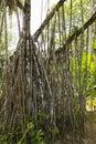 Root Pandanus tree Royalty Free Stock Photo