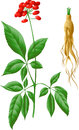 The root and stem of ginseng