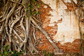 Root tree climb on old brick wall Royalty Free Stock Photo