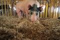 Rooting Hog Royalty Free Stock Photo