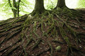 Roots all over very old beech tree in a danish forest Royalty Free Stock Photography