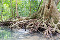 The roots of big trees Royalty Free Stock Photo