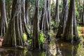 Roots of Cypress trees at Caddo Lake,  Texas Royalty Free Stock Photo