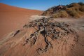 Roots of a dead tree, Sossusvlei, Namibia Royalty Free Stock Photo