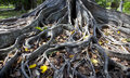 Roots of a Fig Tree Royalty Free Stock Photo