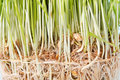 Roots of green grass Royalty Free Stock Photography