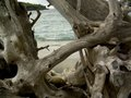 Roots mangrove on the coast of the indian ocean Stock Photo