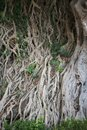Roots of old banyan tree Royalty Free Stock Photo
