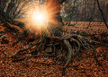 The roots of an old tree autumn forest at sunset Royalty Free Stock Photos