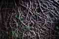 The roots overgrow in cliff some green plantlet was growing of banyan which was overgrowin Royalty Free Stock Photos