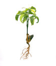 Roots tabroot and fibrous root isolated Royalty Free Stock Photography