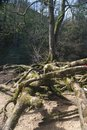 Roots of a tree