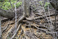 The roots of trees Royalty Free Stock Photo