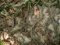 The roots of a tropical tree