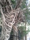 The roots of two banyan trees Royalty Free Stock Photo