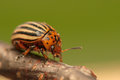 Rootworm colorado potato beetle beetle pest for crops in agriculture Stock Photography