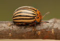 Rootworm colorado potato beetle beetle pest for crops in agriculture Stock Photo