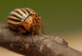 Rootworm colorado potato beetle beetle pest for crops in agriculture Royalty Free Stock Photography