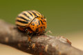 Rootworm colorado potato beetle beetle pest for crops in agriculture Stock Images