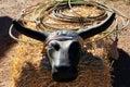 Roping steer head Royalty Free Stock Photo