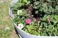 stock image of  Damask rose Magnoliophyta b