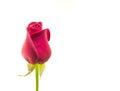 Rosa del rojo aislada en el fondo blanco Fotos de archivo