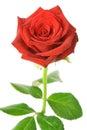 Rosa di colore rosso isolata Fotografie Stock Libere da Diritti