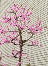 Rosa sakura tree near brick wall Lizenzfreies Stockbild