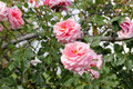 Rosa 'Aloha', Rambling Hybrid Tea Rose Royalty Free Stock Photo
