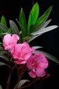 Rosafarbene Oleanderblume Stockfoto