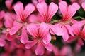 Rosafarbene Pelargonie-Kaskadeblumen Stockfoto