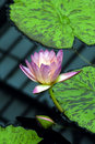Rosafarbene Wasser-Lilie Lizenzfreies Stockbild