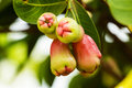 Rose apple close up of tropical fruit on tree Royalty Free Stock Photography