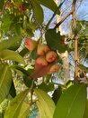 Rose apple, on a tree with dark leaves, green apples growing on the branch Royalty Free Stock Photo