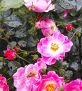 Rose beautiful in a garden in la spezia Royalty Free Stock Photos