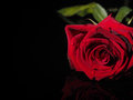 Rose on a black background Royalty Free Stock Photo