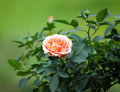 Rose blooming large garden outdoors Royalty Free Stock Photography