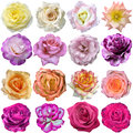 The rose blooms on white background Stock Photo