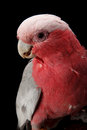 Rose breasted cockatoo galah or shoot in studio black background Stock Photo