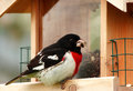 Rose-Breasted Grosbeak Stock Image