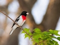 Rose breasted grosbeak perched on the branch of a maple tree bright red breast stand out against its white and black feathers Royalty Free Stock Photos