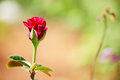Rose bud on a green background Royalty Free Stock Photo