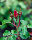 Rose buds. Royalty Free Stock Image