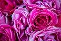Rose Bush bloomed in the spring in the morning garden
