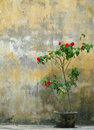 Rose bush in pot against old weathered yellow wall portrait format of solitary red rustic background of vietnamese town of hoi an Stock Photos