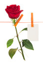 The rose and card hang on a linen rope isolated white Royalty Free Stock Photos