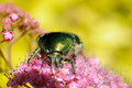 Rose chafer Stock Photos