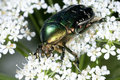 Rose chafer, cetonia aurata Royalty Free Stock Photos