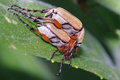 Rose Chafers  preparing to Mate Royalty Free Stock Photos